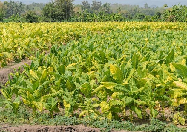 Tobbaco-plantage in thailand