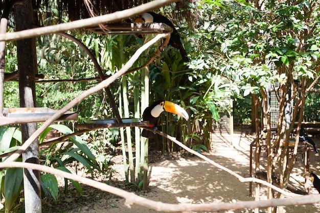 Toekanvogel over de natuur in foz do iguazu