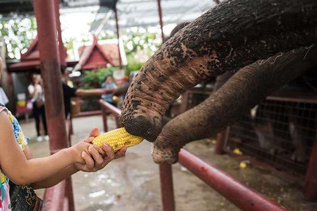Toerismekind en haar grootmoeder voeren maïs aan de olifant in ayutthaya, thailand. beroemde activiteit om voedsel te voeren en te rijden in de historische oude stad.