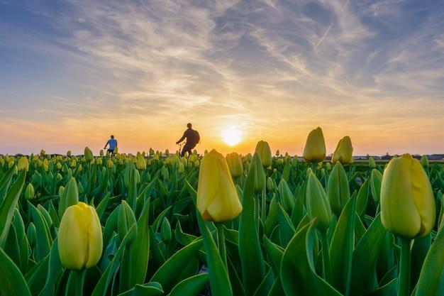 Toerist in fiets die langs tulpengebieden berijden in amsterdam, nederland