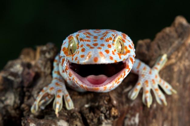 Tokay close-up op hout met zwarte muur dierlijke close-up tokek lizard