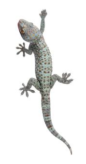 Tokaygekko - gekko-gekko op een geïsoleerd wit