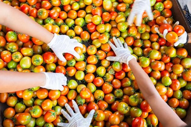 [tomaat bovenaanzicht] de handen van werknemers die verse tomaten plukken voor kwaliteitsproducten om ketchup te produceren.