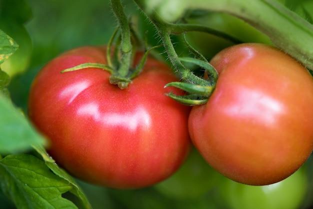 Tomaten groeien in biologische boerderij