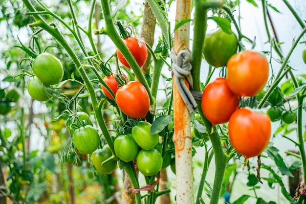 Tomaten groeien in een kas. groenteteelt concept