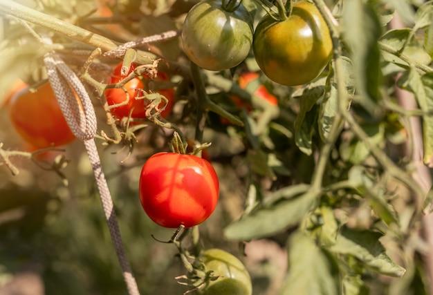 Tomaten groeien op tak van biologische plant met rijpe rode en onrijpe groene vruchten