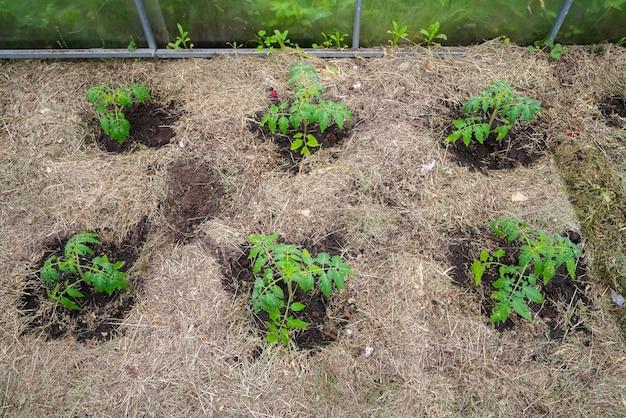 Tomatenplant van eigen bodem zonder groenten in vroege groeifase.