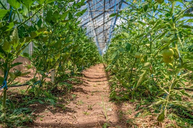 Tomatenplantage in een kas