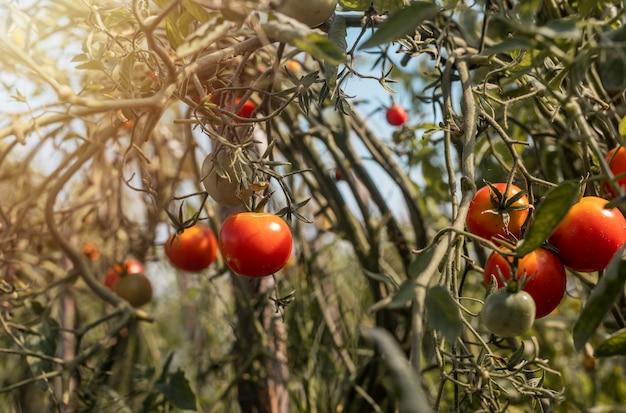 Tomatenplanten met rijp rood fruit biologische boerderij met groenten die op takken groeien