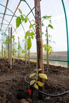 Tomatenzaailingen in de kas op de boerderij druppelirrigatiesysteem van de plant