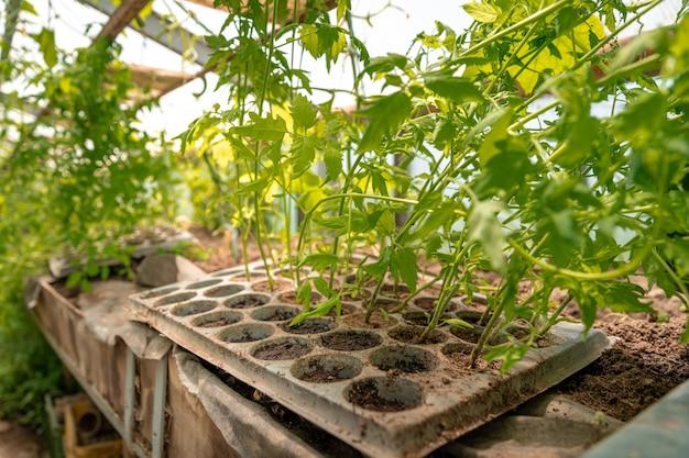 Tomatenzaailingen in een kas op de biologische boerderij
