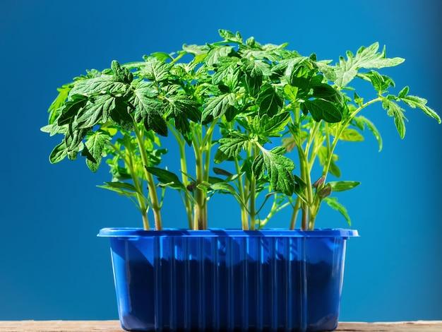 Tomatenzaailingen in een pot in fel zonlicht geïsoleerd
