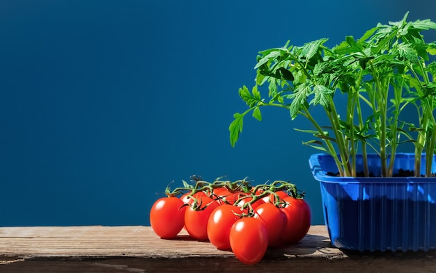 Tomatenzaailingen in pot en rijpe tomaten