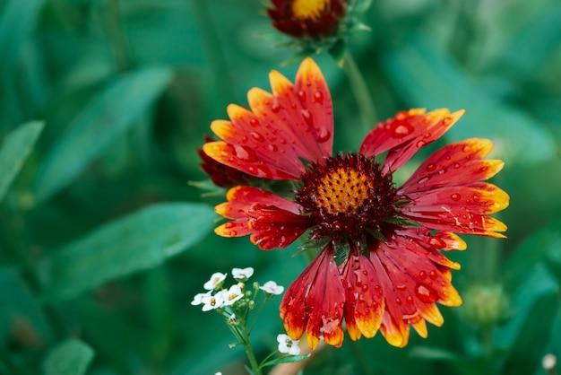 Toneel bloeiende gaillardia-pulchella in macro. verbazend nat rood geel bloemclose-up met exemplaarruimte. prachtige bloemblaadjes met regendruppels. dauw op mooie bloeiende bloem. druppels op plant. rijke flora.