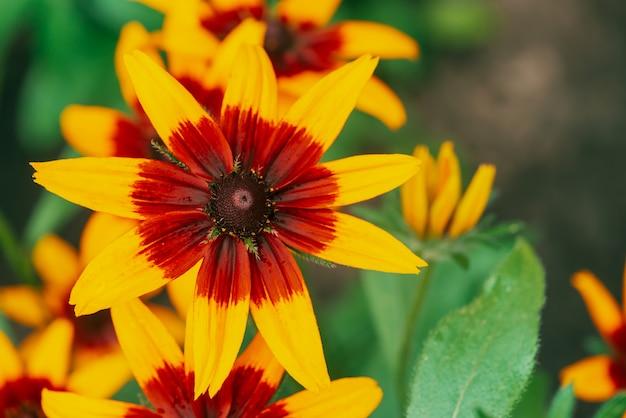 Toneel bloeiende rudbeckia-fulgida in macro