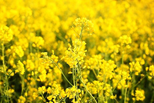 Toneel landelijk landschap met geel verkrachting, raapzaad of canolagebied. raapzaadgebied, bloeiende canolabloemen dicht omhoog. verkrachting op het veld in de zomer. heldergele koolzaadolie. bloeiend koolzaad