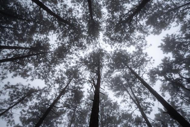 Toneelmening van zeer grote en lange boom in het bos in de ochtend