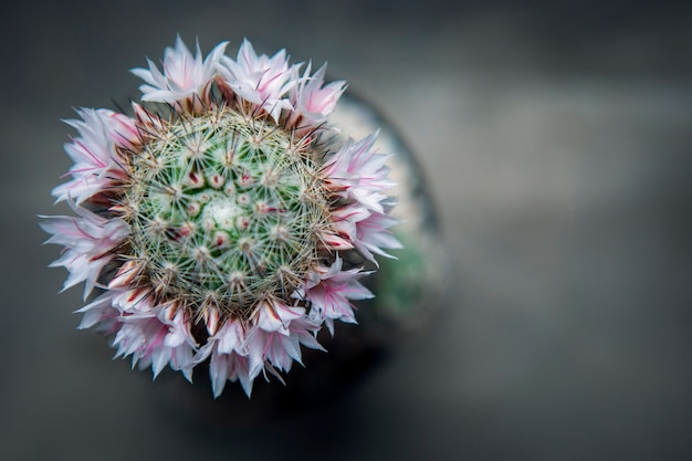 Top coryphantha cactus met roze bloem bloeiend in plantpot