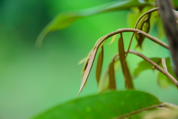 Top jonge bladeren durianboom, vers durian fruit op boom durians zijn de koning van het fruit