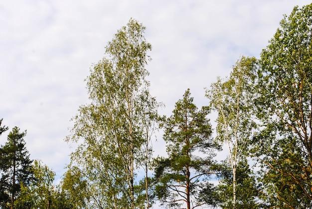 Top van berken en pijnbomen in de lente