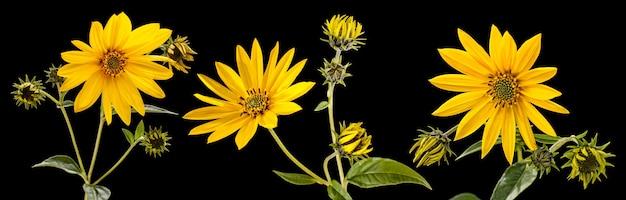 Topinamber. artisjok bloemen van jeruzalem geïsoleerd op zwarte achtergrond