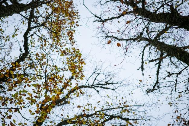 Toppen van bomen in het herfstbos van onder naar boven tegen de achtergrond van de blauwe lucht, droge herfstbladeren achter...