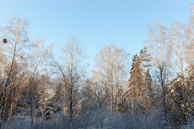 Toppen van bomen in het winterseizoen in het bos bij zonnig weer