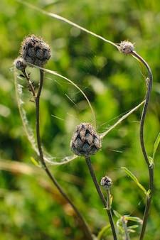 Toppen van centaurea scabiosa zijn cobwebbed, close-up.