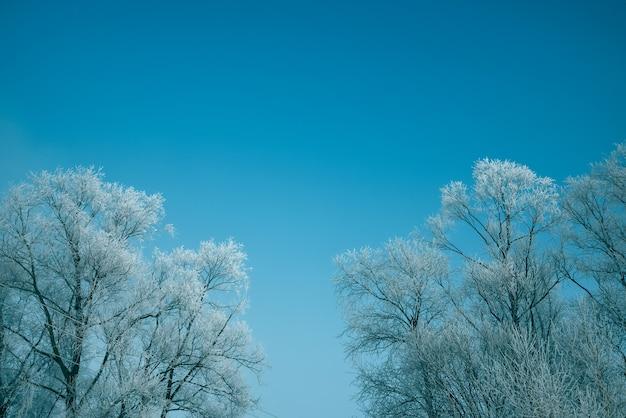 Toppen van de bomen bedekt met sneeuw en ijzige vorst tegen de blauwe lucht