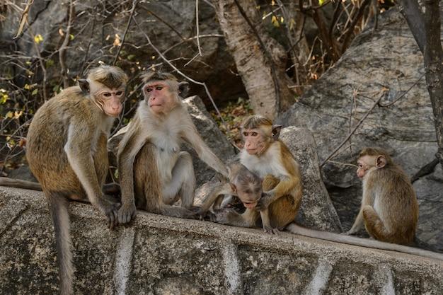 Toque makaak (macaca sinica) zittend op een rots in cave temple in dambulla. endemische aap in sri lanka.