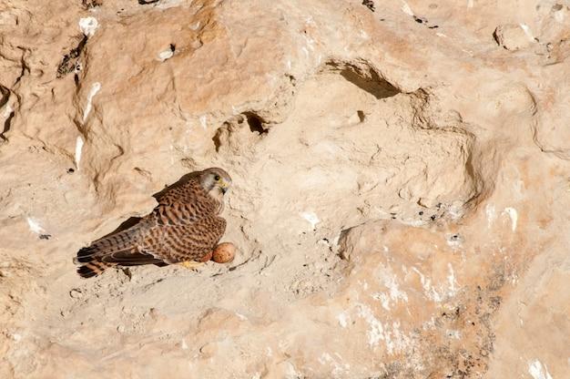 Torenvalk falco tinnunculus zit op zijn nest in de rots