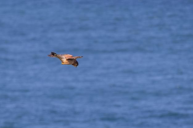 Torenvalk (falco tinnunculus) zweeft over kliffen bij porthgwidden op zoek naar prooi