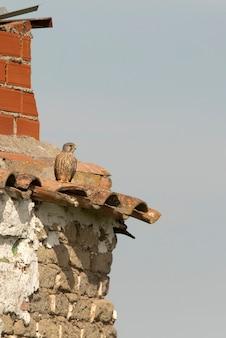 Torenvalk mannetje in de laatste avondlichten