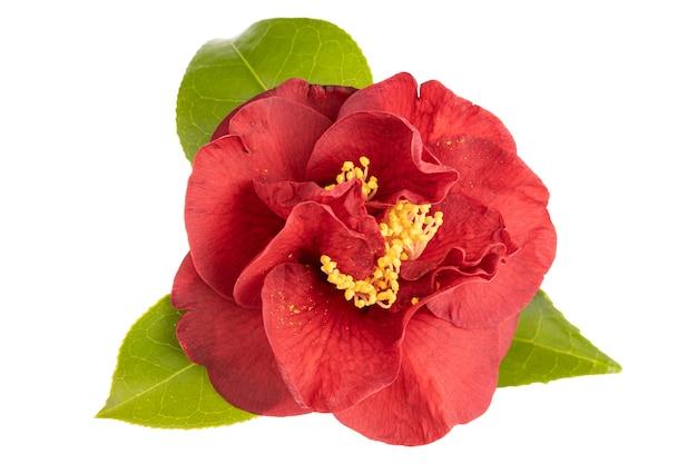 Tot bloei gekomen rode cameliabloem met bladeren, gele meeldraad en stampers die op wit worden geïsoleerd