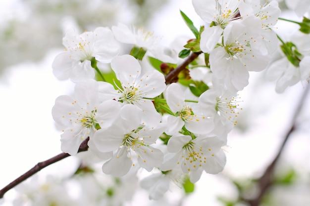 Tot bloei komen van kersenbloemen in de lentetijd met groene bladeren