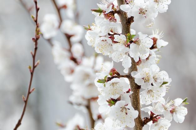 Tot bloei komende abrikoos, close-up