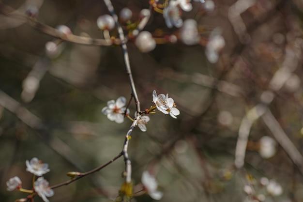 Tot bloei komende branchwith bloemen van kersenpruim. bloeiende boom. idee en concept van lente, ontwaken en gezondheid