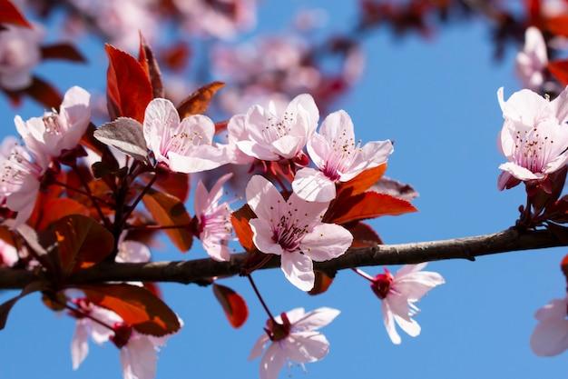 Tot bloei komende fruitboom bij de lente.