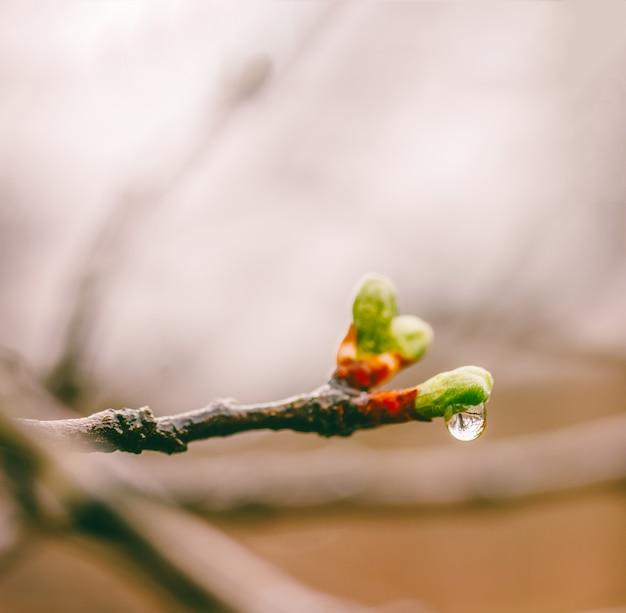 Tot bloei komende jonge groene bladeren in dalingen van een de lenteregen op takken van een pruimboom