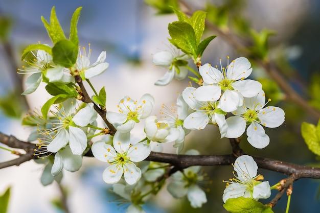 Tot bloei komende kersentak met groene bladeren