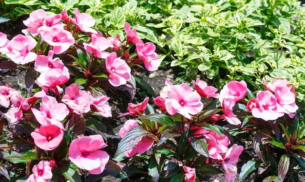 Tot bloei komende plant met roze bloemenclose-up