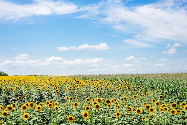 Tot bloei komende zonnebloembloem op het landbouwbedrijfgebied. het charmante landschap van zonnebloemen tegen de hemel.