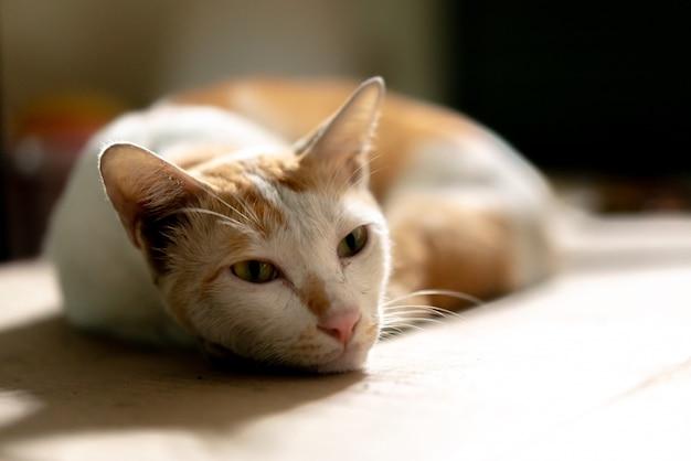 Tot vaststelling van bruine en witte thaise kat op kartonnen papier met onscherpe achtergrond.
