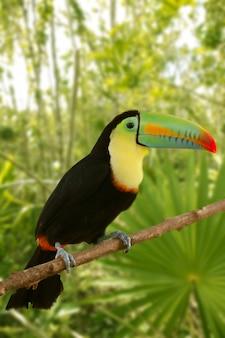 Toucan kee gefactureerde jungle van tamphastos sulphatus