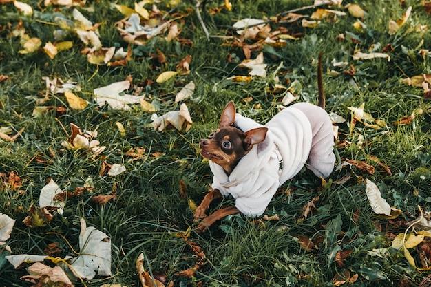 Toy terriër spelen op het gazon in de herfst.