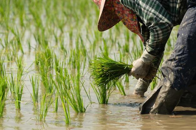 Traditionele methode voor het planten van rijst. rijstboeren verdelen jonge rijstplanten en herplanten in overstroomde rijstvelden in zuidoost-azië.