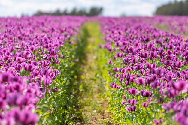 Trail in violet papaver bloem veld, ondiepe scherptediepte