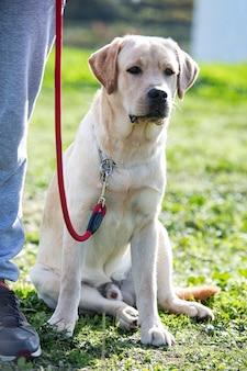 Training van een labrador retriever voor gehoorzaamheid in de natuur