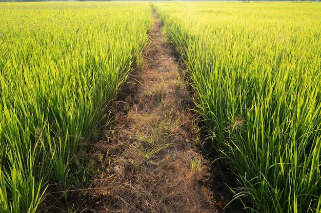 Traject in de rijstvelden