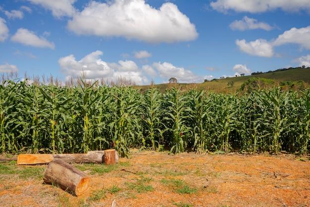 Transgene maïsoogst op een klein landelijk landgoed in guarani